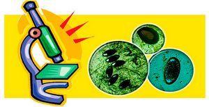 Непереваренная пища в кале у взрослого: неперевариваемая клетчатка, остатки пищи в копрограмме
