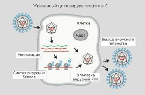 Возможна ли передача вируса гепатита С от отца к ребенку