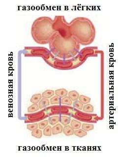 Эритроциты в крови: как формируются и какие функции выполняют?