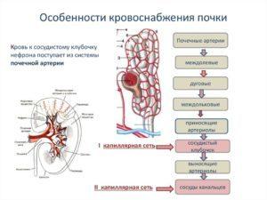 Кровоснабжение почек — как оно осуществляется   Все о здоровье почек
