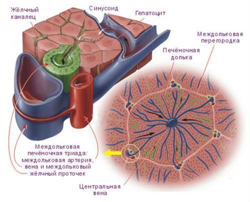 Что такое асцит при циррозе печени, в каких случаях он возникает, причины его возникновения