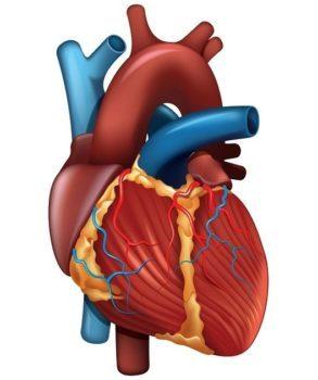 Классификация инфаркта миокарда: основные виды, формы и стадии