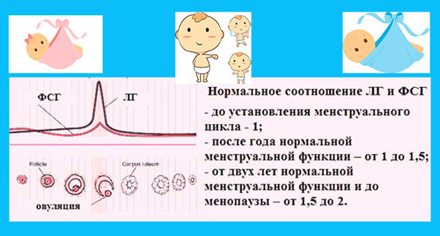 Соотношение ЛГ и ФСГ: норма в первой фазе, калькулятор расчета