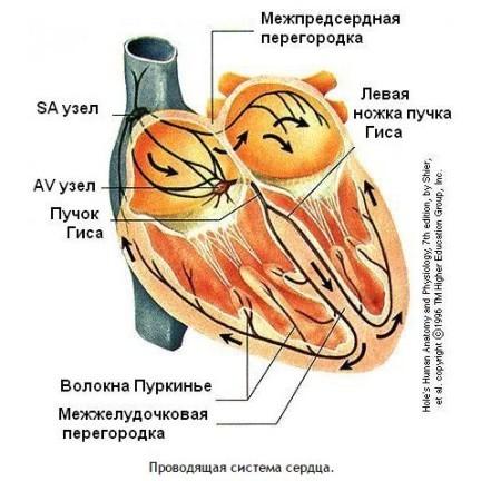 Сколько камер в сердце человека — Строение и основные функции, анатомия сердца человека
